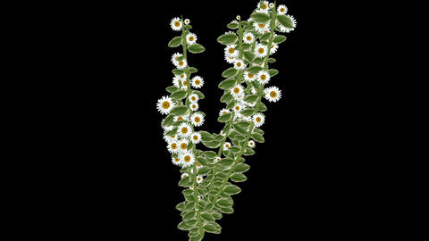 growing daisy flower & branches,spring scene Stock Video Footage