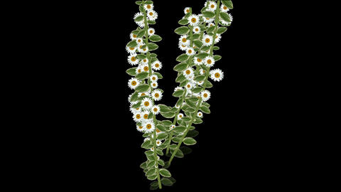 growing daisy flower & branches,spring scene Animation