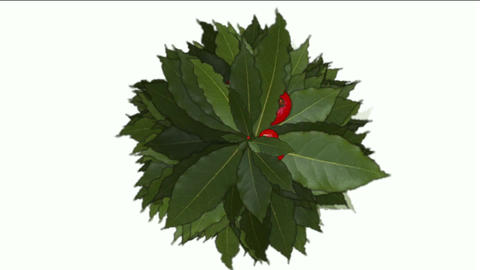 Red Winter Berries on Holly Animation