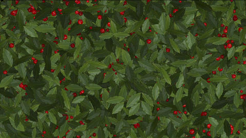 Red Winter Berries on Holly Stock Video Footage