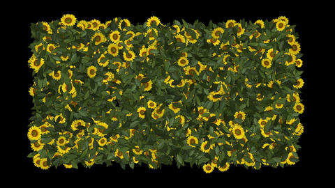 growing yellow daisy & sunflower in green leaves... Stock Video Footage