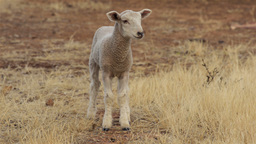 Cute Lamb Looking at the Camera Footage
