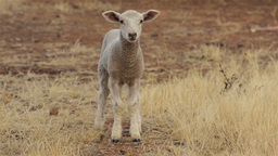 Cute Lamb Looking at the Camera Stock Video Footage