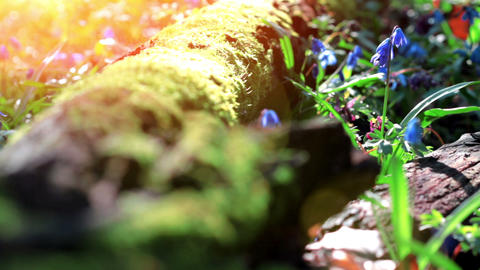 Forest Scilla Stock Video Footage