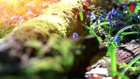 Forest Scilla Footage