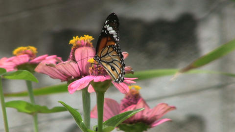 Butterfly On Pink Flower Footage