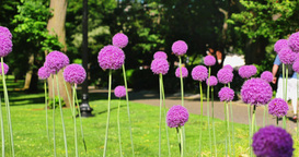 Giant Purple Sensation Flowers in Boston Common Stock Video Footage
