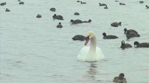 山中湖の白鳥04 Footage