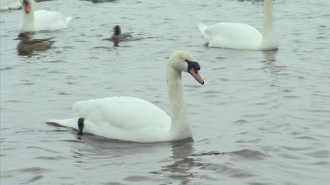 山中湖の白鳥10 Footage