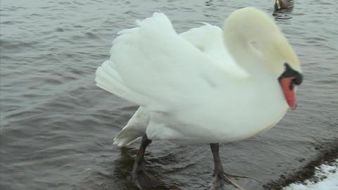 山中湖の白鳥15 Footage
