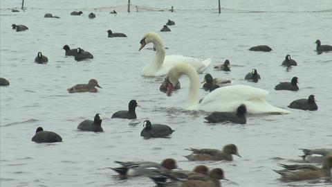 山中湖の白鳥14 Footage