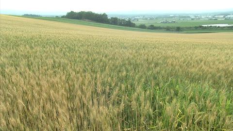 02富良野の農場 麦畑 Footage