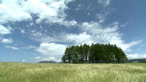 09富良野の農場 麦畑 Footage