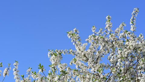 True color close view of cherry tree flowers on a blue sky background Archivo