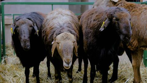 Three sheeps eating hay Footage