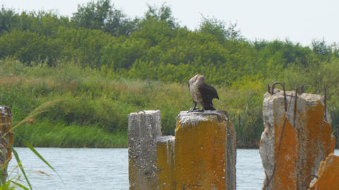Cormorant sitting on concrete block against the bushes and cleans feathers Live Action
