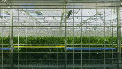 Industrial greenhouse with even rows of plants inside. Modern farming: growing Live Action