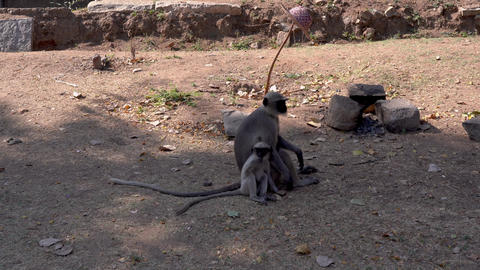 Hampi monkey langur 30 Archivo