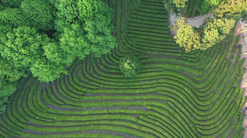 Drone Shot green tea plantations in South Korea Archivo