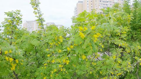 Acacia yellow shrub Live Action