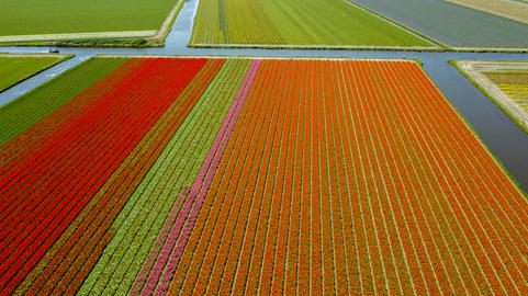 Aerial view of tulip fields in springtime, Holland, the Netherlands Photo