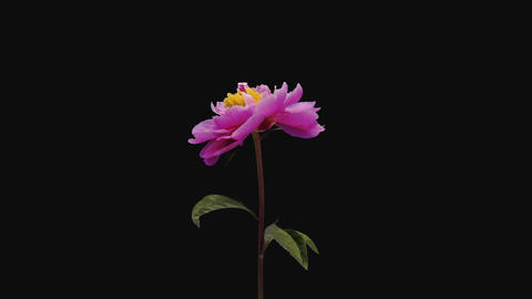 Time-lapse of opening pink peony flower, 4K with ALPHA... Stock Video Footage