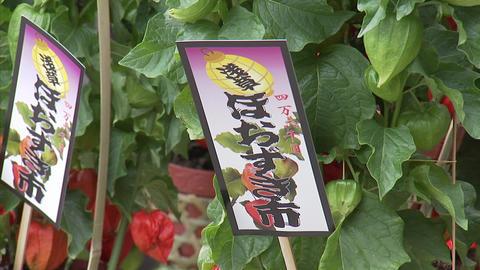 008ほおずき市1 Footage