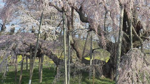 004三大桜 滝桜2007 04 Footage