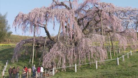 003三大桜 滝桜2007 03 Footage