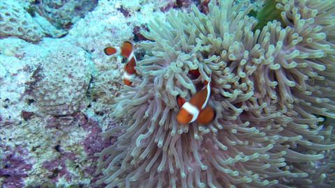 108 003Clown anemonefish3 Footage