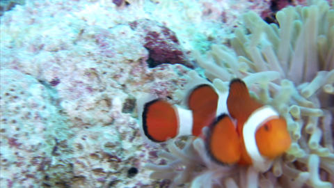 109 004Clown anemonefish5 Footage