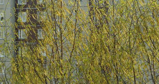 Birch tree bloom yellow fluffy earrings Footage