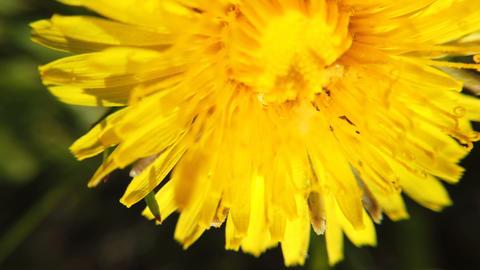 Dandelions swaying in wind Archivo