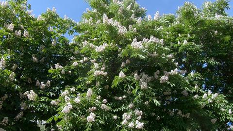 Flowers of chestnut trees Footage
