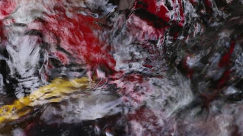 Beautiful Koi carp fish swim in particle floating water Footage