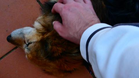 dog that enjoys caresses Stock Video Footage