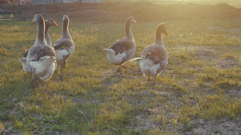 geese walking outdoors in the sunset Live Action