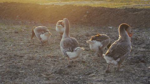 geese walking outdoors in the sunset Footage