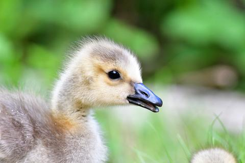 About one month old Gosling's closeup Photo