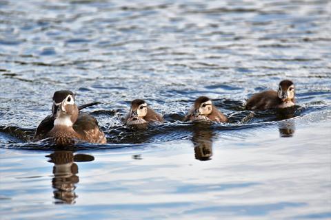 Wood duck Family Fotografía