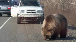 Wild hungry brown bear walking on road Archivo