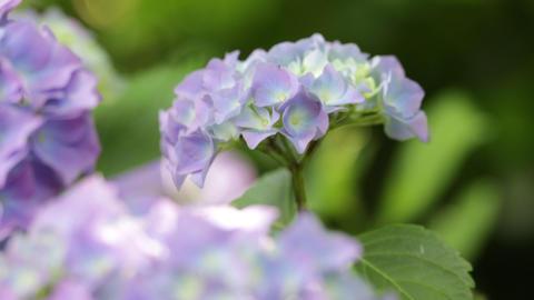 Little hydrangea flower 0012 Footage