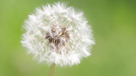 Little dandelion flower 002 Footage