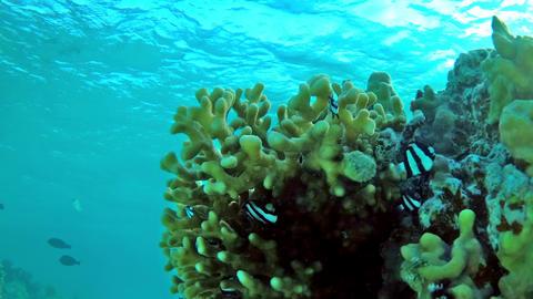 Humbug damsel Dascyllus aruanus in a stone coral in shallow water - sideways Archivo