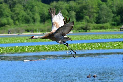 Sandhill crane flying in the air Fotografía