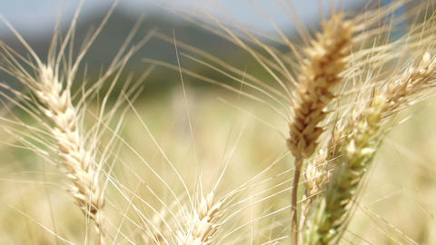 Beautiful golden agricultural farm, barley field sway in the wind close up Footage