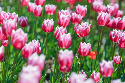 glades with many colorful flowers of tulips, beautiful background image and Photo