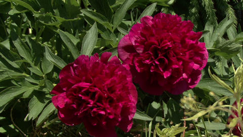 Blooming peonies. The camera moves Live Action