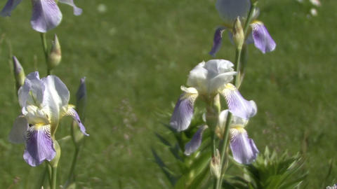 Blooming blue irises The camera moves Stock Video Footage