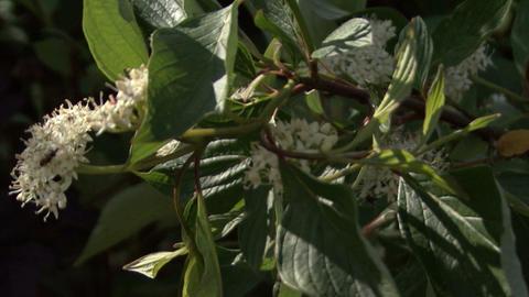 Flowering shrubs white flowers. Camera moving Live Action